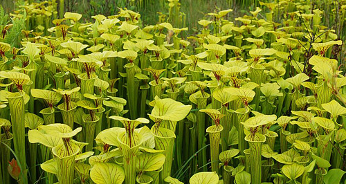 Meadowview Biological Research Station Preserving And Restoring Pitcher Plant Bogs